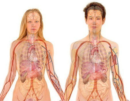 The Regenerating Time of our Organs